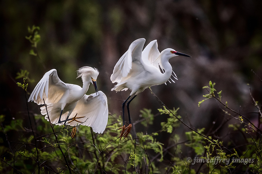 Two Snowy Egrets in flight, one taking off and the other landing at Smith Oaks Rookery near High Island Texas