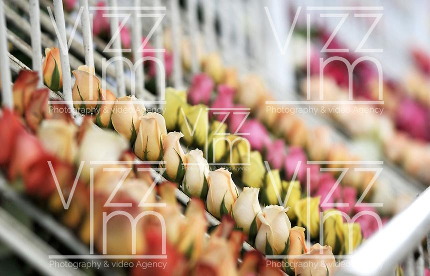 COLOMBIA- 29-01-2013 Llega febrero y los floricultores colombianos tienen la gran oportunidad de iniciar el año con el pie derecho gracias al día de San Valentín que es por excelencia el día de los enamorados en Estados Unidos y Europa. Por estos días las plantaciones de flores en la  Sabana de Bogotá trabajan a todo marcha para surtir el mercado, para este año en el cual esperan incrementar sus ventas en 12% respecto al año anterior. (Foto: VizzorImage / Luis Ramírez / Staff). February is coming and colombian growers have a big opportunity to start this year so well thanks to the quintessential Valentine's Day in USA and Europe. For these days the Sabana of Bogota flowers plantations are working full time to fill the market for this year and increase their sales by 12% compared to 2012. /Photos VizzorImage  / Luis Ramírez / Staff).