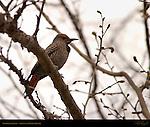 Northern Flicker, Woodpecker, Sepulveda Wildlife Refuge, Southern California