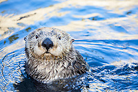 southern sea otter, or California sea otter, Enhydra lutris nereis, Monterey, California, USA, Pacific Ocean