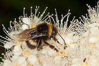 Helle Erdhummel, Weißschwanz-Erdhummel, Bombus lucorum, Arbeiterin beim Blütenbesuch, Nektarsuche, Bestäubung, white-tailed bumble bee