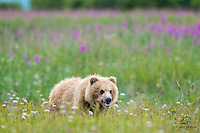 Even a Coastal Brown Bear (Ursus arctos) cub can appreciate the short-lived beauty of a meadow full of blooming flowers and fireweed.  Hallo Bay, Katmai National Park, Alaska.