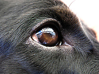 BOGOTÁ-COLOMBIA-02-01-2013. Ojo de perro en primer plano./ Dog's eye in close-up. (Photo: VizzorImage)