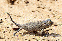 Namaqua Chameleon, The Living Desert, Swakopmund, Namibia
