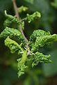 Curled, distorted leaves on a plum tree infested with leaf-curling plum aphid (Brachycaudus helichrysi), mid June.
