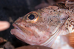 Blackbelly rosefish resting on sea floor facing left, close-up.