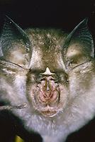 Kleine Hufeisennase, Portrait, Kleinhufeisennase, Fledermaus, Rhinolophus hipposideros, lesser horseshoe bat