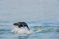 """California sea lion (Zalophus californianus) """"porpoising.""""  Central California Coast.  This sea lion seemed to be playing with several other sea lions.  This jumping out of the water while playing with other sea lions is fairly common behavior."""