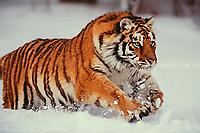 Siberian Tiger running through snow.