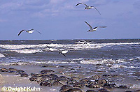 1Y47-051x  Horseshoe Crab - laughing gull flying above beach, eating newly laid eggs - Limulus polyphemus