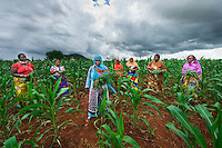 BRAC PROJECT, GPAF project (Global Poverty Action Fund). Agriculture project, women working in maize cornfields. Collective crop demonstration, 8 women 8 acres, work together to<br />