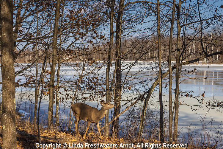 Proof that white-tailed deer do look up.