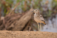 Senegal Thick-knee on the banks of the Senegal River at Podor, near the Senegal border with Mauritania