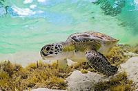 green sea turtle, Chelonia mydas, endangered species, Florida, USA, Atlantic Ocean