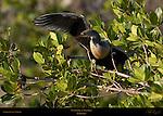 Anhinga Welcome to Florida Waving One Wing American Darter Snakebird Sanibel Island Florida
