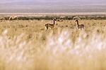Vicuna (Vicugna vicugna) crias in puna grassland, Laguna de los Pozuelos Natural Monument, Andes, northwestern Argentina