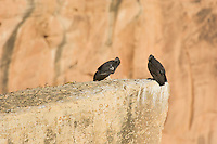 Two immature California Condors (Gymnogyps californianus).  Western U.S.   Note:  Bird on right has no tags--it is a wild born condor that has not been caught and tagged at the time of this photo.  It is the only wild condor without tags.
