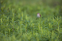 Field Sparrow (Spizella pusilla pusilla), male on its breeding territory in Assunpink Wildlife Management Area, Allentown, New Jersey.