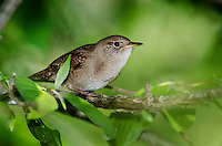 House Wren (Troglodytes aedon) found throughout most of North America.