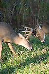White-tailed bucks (Odocoileus virginianus) fighting/sparring