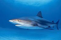 Caribbean reef shark, Carcharhinus perezii