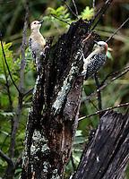 CALI - COLOMBIA, 20-06-2016: Carpintero corona roja especie de ave presente en el oeste de Cali. / Red-crowned Woodpecker bird species present in western Cali Cali. Photo: VizzorImage/ Gabriel Aponte / Staff