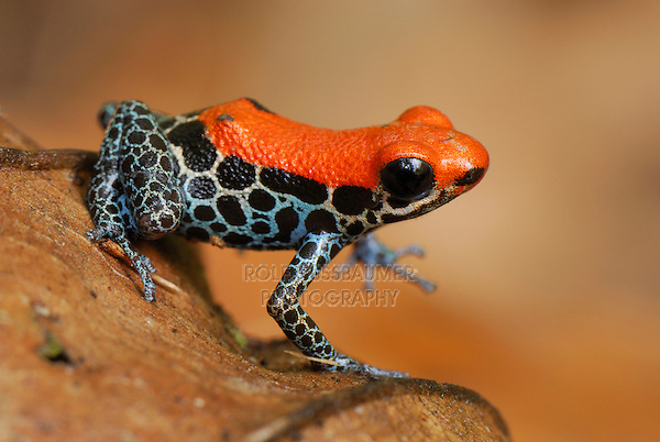 Reticulated Poison Dart Frog (Dendrobates reticulatus), adult , Allpahuayo Mishana National Reserve, Iquitos, Peru, South America