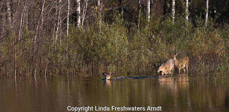 White-tailed deer lining up to swim across a northern Wisconsin pond.