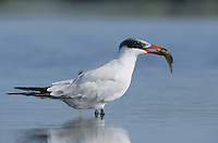 Caspian Tern (Sterna caspia), immature with fish prey, Sinton, Coastel Bend, Texas, USA