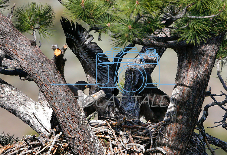 Bald eagle family update near Markleeville, Ca., on Thursday, June 18, 2020. <br /> Photo by Cathleen Allison