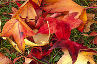 Red, yellow and orange Sweetgum tree leaves lie in a cluster on recently greened grass at a neighborhood park in northern California.