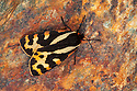 Wood Tiger moth {Parasemia plantaginis plantaginis}. Aosta Valley, Monte Rosa Massif, Pennine Alps, Italy. July.