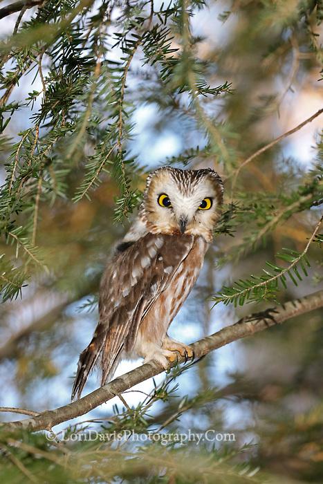 Northern saw-whet owl v