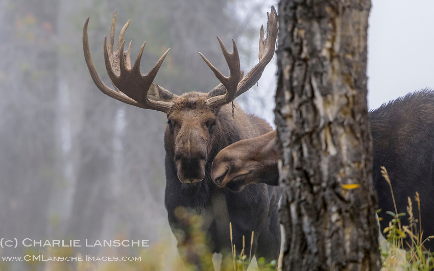 """Kisses in the Mist. """"I'll meet you behind the tree..."""" Yes, love is in the air during the moose rut. The secret life of moose. It was a treat to watch these two lovers dance among the cottonwoods on a foggy September morning earlier this week in the Tetons. September 2017."""