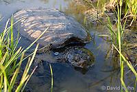 0611-0912  Snapping Turtle Exploring Pond Edge, Chelydra serpentina  © David Kuhn/Dwight Kuhn Photography