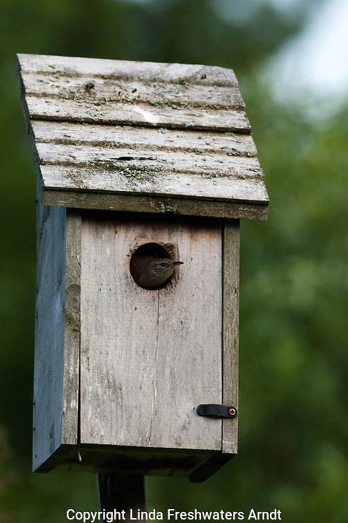 House Wren