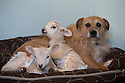 """21/04/15<br /> <br /> Piper lets the lambs lie on him.<br /> <br /> Two 'sheep dogs' are helping to pamper three orphaned lambs who think the dogs are their mum.<br /> <br /> The three orphaned  lambs, who wear nappies so they can have the run-of-the-house, like to snuggle up to the dogs and share their bed with them in the kitchen by the stove.<br /> <br /> Piper, an 11-year-old rhodesian ridgeback-cross and Draughtsman, an eight-year-old ex-hunting beagle, take turns looking after the week-old lambs who often try to suckle from their doting canine 'parents'.<br /> <br /> Melissa Ebbatson, 21, said: """"These three were quite poorly, so we brought them inside so we could look after them better and give them a bit more warmth. We put them in nappies so they don't make a mess in the house.  One of the dogs was having a snooze on his bed and the lambs just jumped in and joined him. And they've all become inseparable since then.<br /> <br /> """"The dogs like to clean the lambs' faces after they've had their bottles. And they enjoying romping around the place with them,"""" said Melissa who helps to run Crossgates Farm, with her family near Tideswell in the Derbyshire Peak District.<br /> <br /> """"They seem to really care about them and go straight to them if they start bleating – they even come to find us if they think they're hungry.<br /> <br /> """"We change their nappies at least four-times-a-day - the baby boys even need to wear two!<br /> <br /> """"They are between seven and eight days old, and we hope to get them living back outside again when they are strong enough in another ten days or so – that's as long as the dogs let us!<br /> <br /> """"We're probably all a bit bonkers here but it all seems normal to us"""", she added.<br /> <br /> All Rights Reserved: F Stop Press Ltd. +44(0)1335 418629   www.fstoppress.com."""