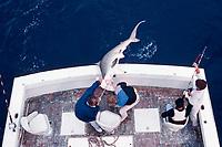 sport fishermen with captured scalloped hammerhead shark, Sphyrna lewini, Florida, Atlantic Ocean