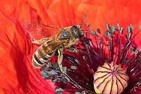 Gelbbindige Furchenbiene, Weibchen, Halictus scabiosae, Great Banded Furrow-Bee, female, Schmalbienen, Furchenbienen, Halictidae, Blütenbesuch an Mohn, Papaver