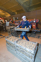 Grading and traying once grown Challenger potato seed raedy for chitting - Lincolnshire, February