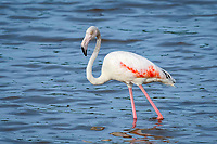greater flamingo (Phoenicopterus roseus) on the lake Ndutu, Ngorongoro Conservation Area, Serengeti, Tanzania, Africa
