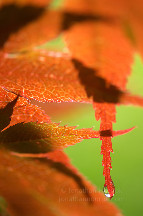 close-up of red Japanese maple leaves
