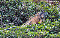 0625-1103  Male Green Iguana (Common Iguana), On River Bank in Belize, Iguana iguana  © David Kuhn/Dwight Kuhn Photography