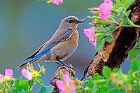 Female western bluebird (Sialia mexicana).  Western U.S., spring.