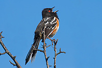 Male Spotted Towhee (Pipilo maculatus) singing in spring.  Pacific Northwest.