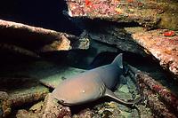 nurse shark, Ginglymostoma cirratum, rests in shipwreck at night, Bahamas, Caribbean Sea, Atlantic Ocean