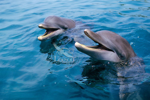 Two Bottle-nosed Dolphins or Common Bottlenose Dolphins.