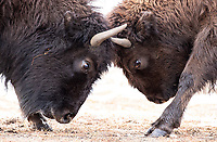 This pair of younger bison practiced their dueling technique near our car.