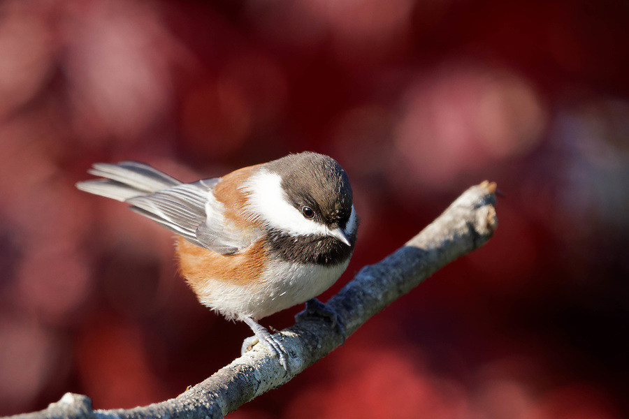 Chestnut-backed chickadee perched on branch with fall colors in background, Snohomish, Washington, USA
