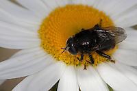 Gemeine Narzissenschwebfliege, Narzissen-Schwebfliege, Schwebfliege, Blütenbesuch auf einer Margerite, Pollensuche, Nektarsuche, Blütenbestäubung, Merodon equestris, Narcissus bulb fly, greater bulb fly, large bulb fly, large Narcissus fly